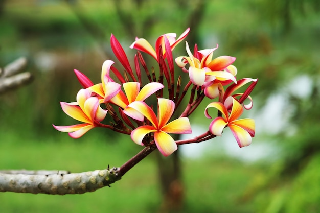 Plumeria colorful bouquet flower blooming in the park