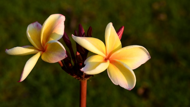 Plumeria flower blooming and green leaf with bright sky.