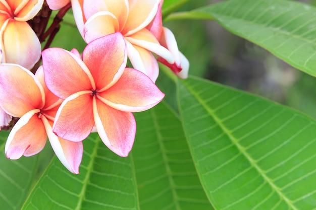 Плюмерия цветок в саду крупным планом