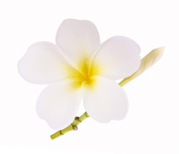 Plumeria 꽃 또는 frangipani 흰색 배경에 고립