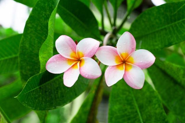 Плюмерия цветок с зелеными листьями