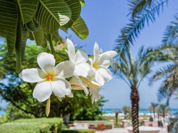 プルメリアの花。アブダビ。ホテルセントレジスサアディヤットアイランドの保護されたオアシス。