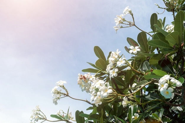 Plumeria flowers against a bright blue sky