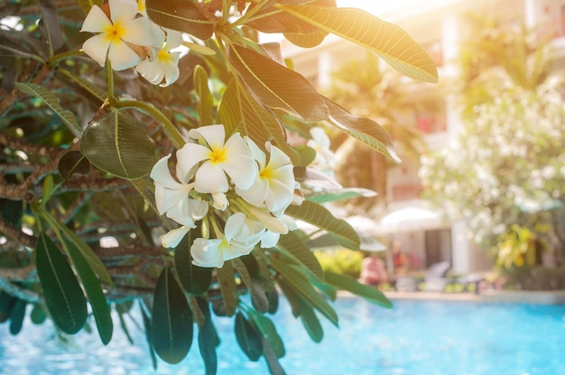 Plumeria flowers on the background of the pool