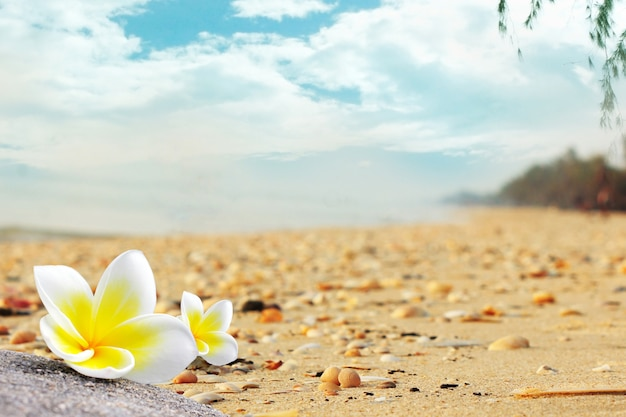Plumeria flowers on the beach are full of shells in the summer.