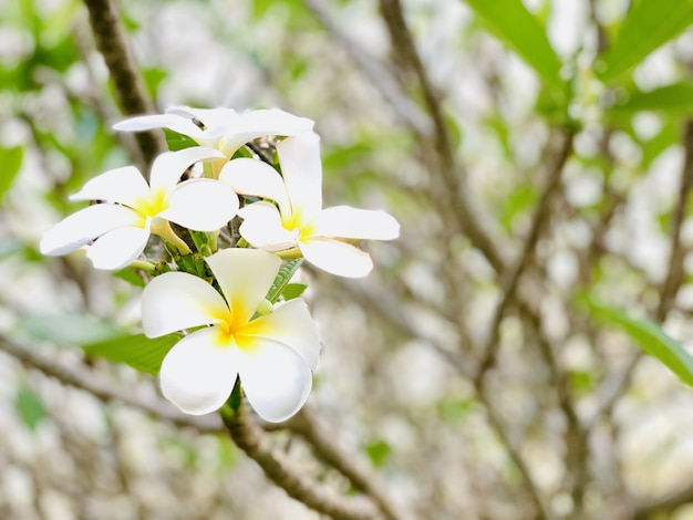 Plumeria flowers bloom in the morning