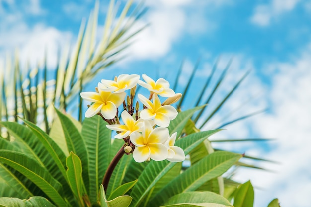 Plumeria flowers blooming against the sky. selective focus.