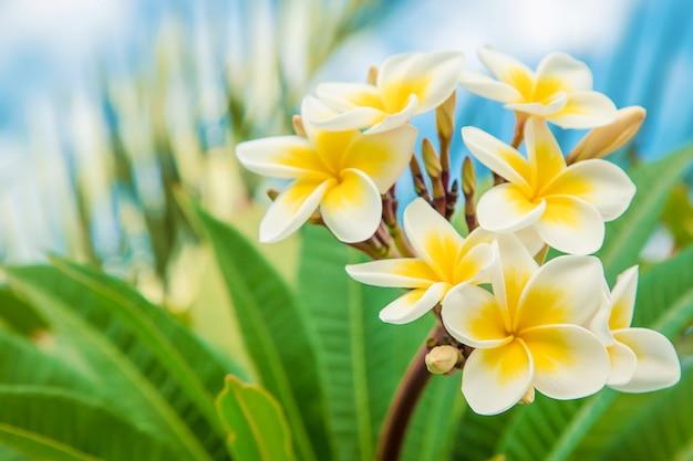 Плюмерия цветы цветут на фоне неба. выборочный фокус.