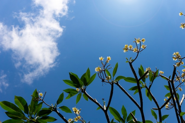 Plumeria flowers and blue sky background
