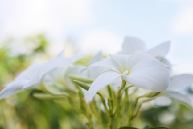 プルメリアの花がクローズアップ
