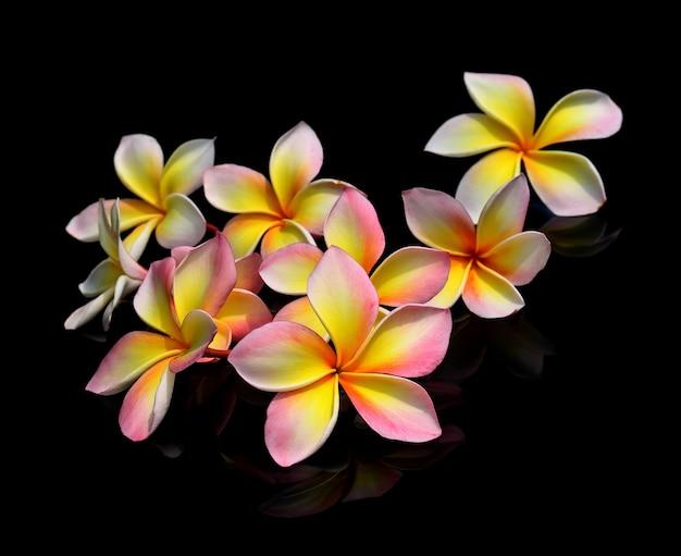검은 배경에 plumeria 꽃입니다.