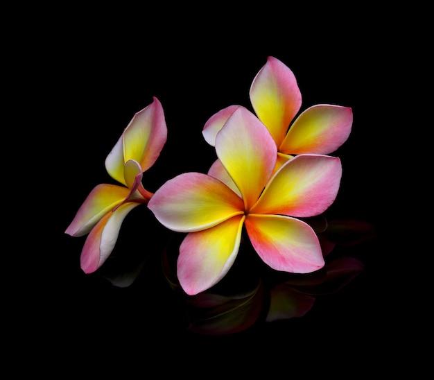 黒の背景にプルメリアの花。