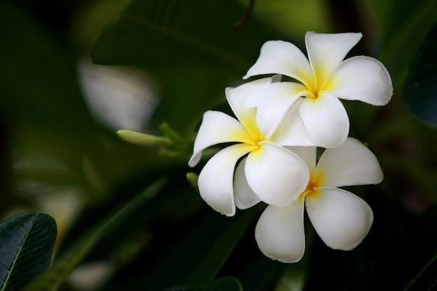 Цветы плюмерии на дереве, крупным планом