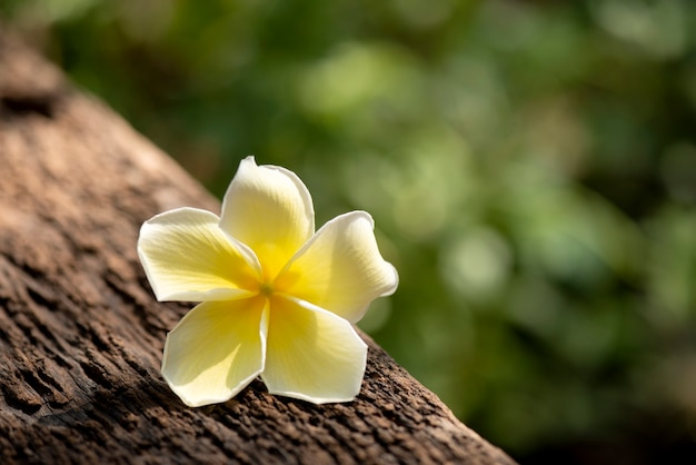 Plumeria flowers ray on an old wooden background.