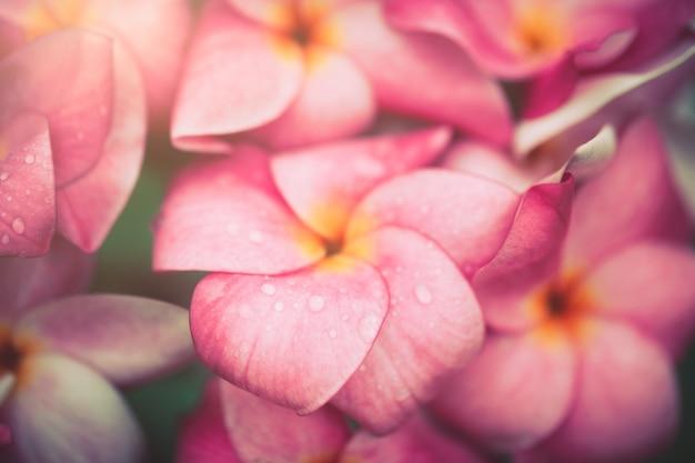 Plumeria 꽃 부드러운 색상. 달콤한 파란색 배경