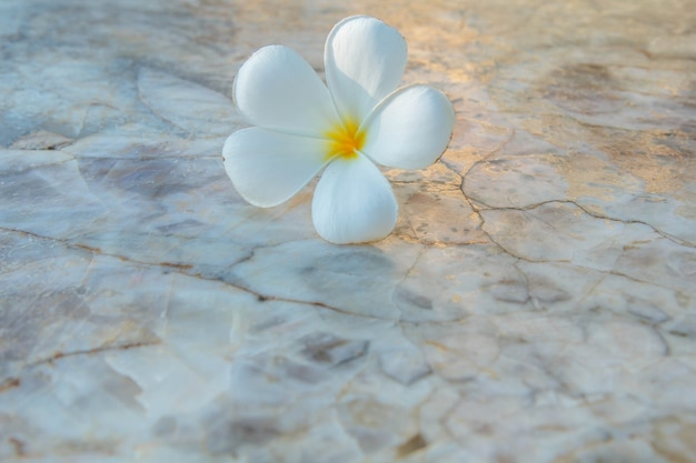Plumeria 꽃 흰색 자연