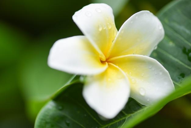 Плюмерия цветы с каплей воды на зеленом листе