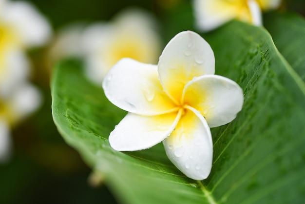 Плюмерия цветы с капли воды на зеленом листе
