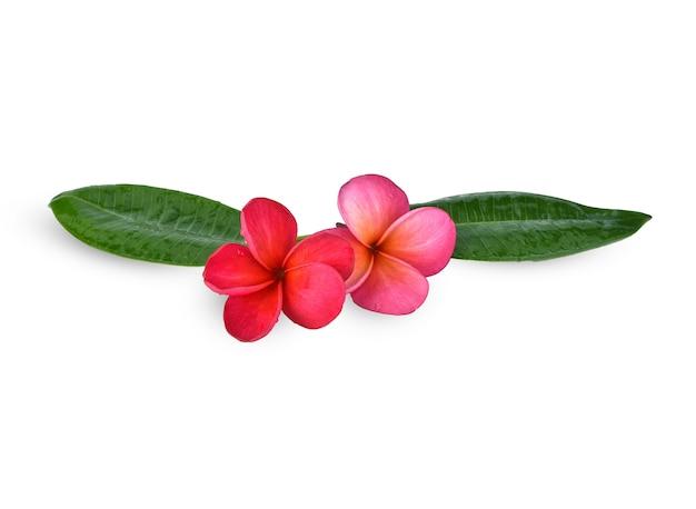 緑の葉が分離されたプルメリアの花