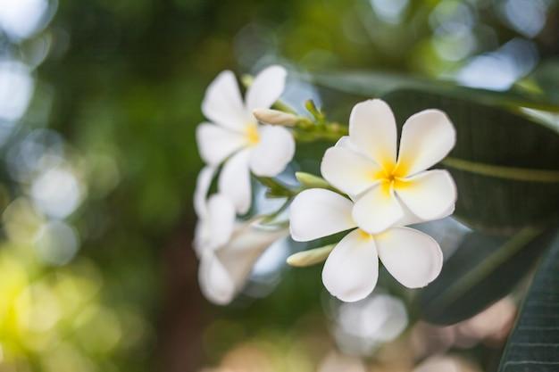 Цветки плюмерии.