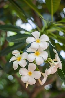プルメリアの花。