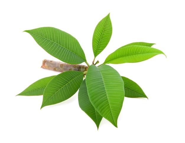 プルメリア (フランジパニ) の葉と白い背景で隔離の枝