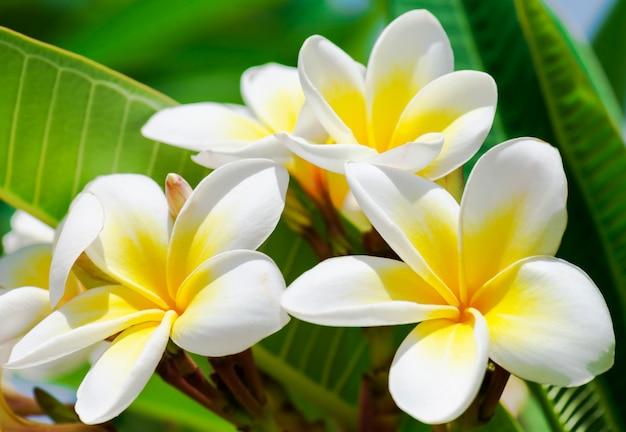 Чистота белых цветов plumeria или frangipani