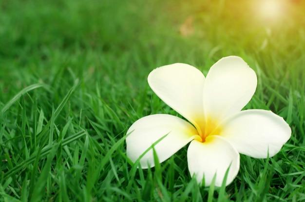 Закройте вверх белого желтого цветка plumeria (frangipani) с солнечным светом на зеленой траве