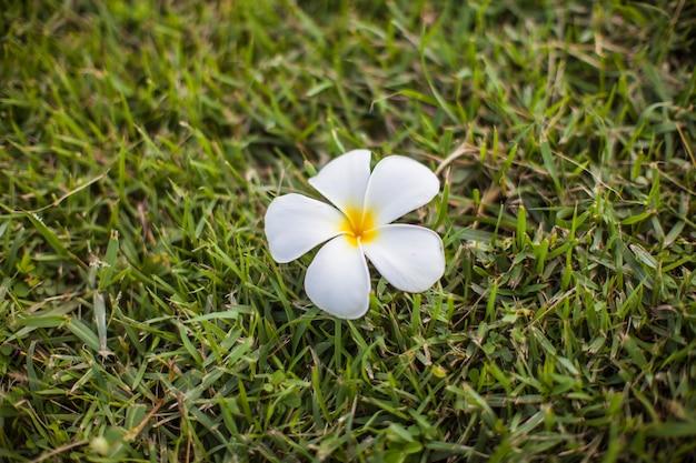 Plumeria on green grass background.