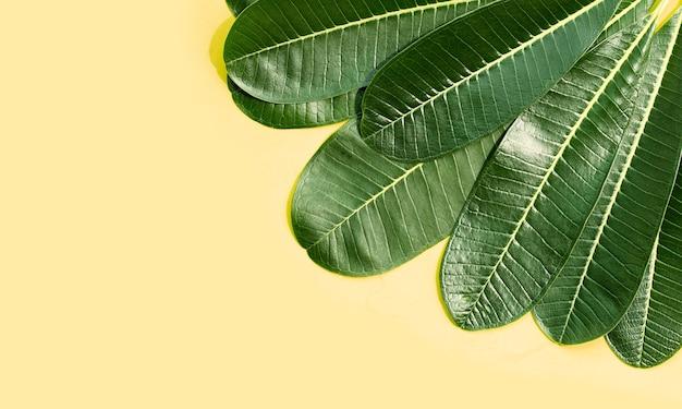 黄色い表面にプルメリアの緑の葉