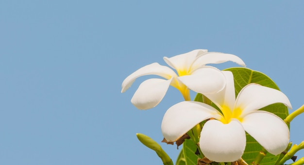 Plumeria on its tree over blue sky background