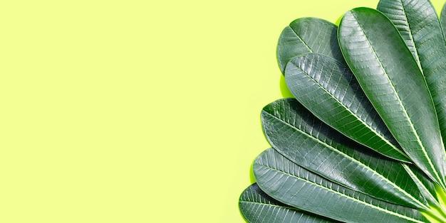 緑の表面にプルメリアの葉