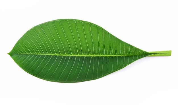 흰색 바탕에 plumeria 잎