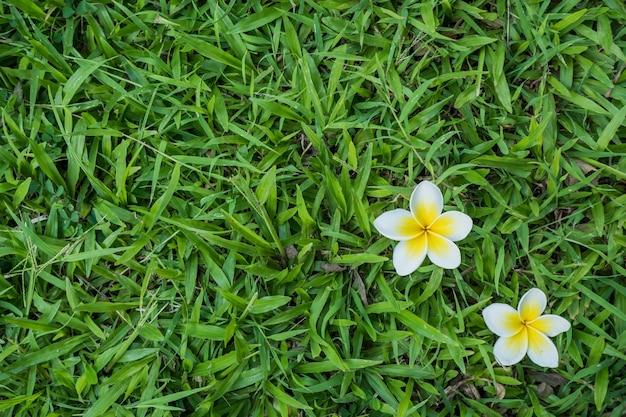 Плюмерия на траве фон