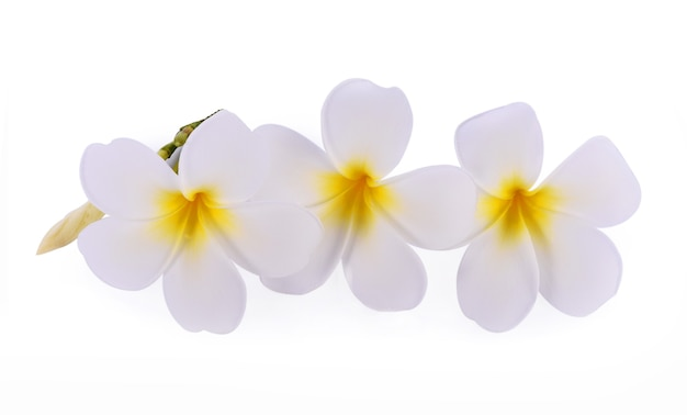 흰색 배경에 고립 된 plumeria 또는 frangipani