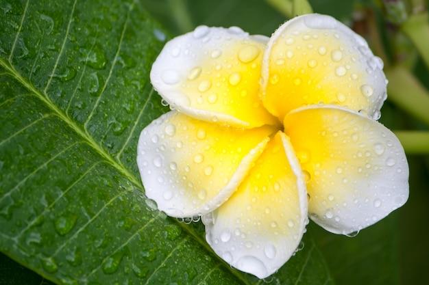 Крупным планом plumeria или цветение франжипани на дереве plumeria