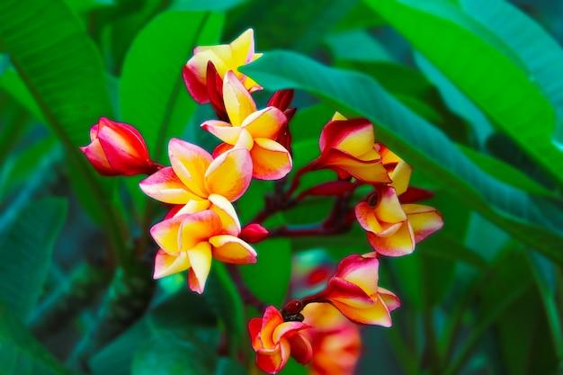 Плюмерия красный желтый белый цветок и цветочный франжипани, бутоны плюмерии и зеленые листья в саду