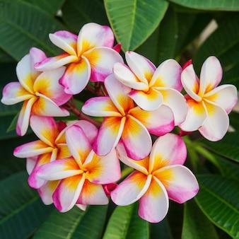 Plumeria spp. (цветы frangipani, frangipani, дерево пагоды или дерево храма)