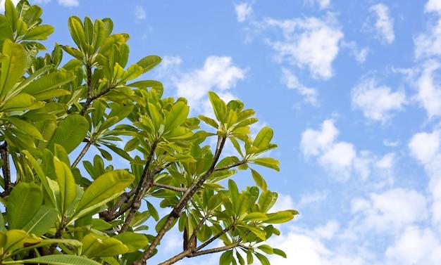 Плюмерия деревья с небом и облаками.
