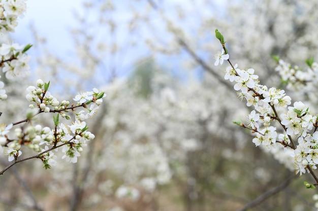 Сливы распускаются белыми цветами ранней весной на природе