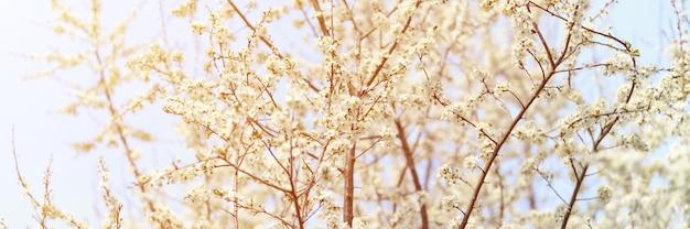 Сливы или чернослив распускаются белыми цветами ранней весной на природе. выборочный фокус. баннер. вспышка