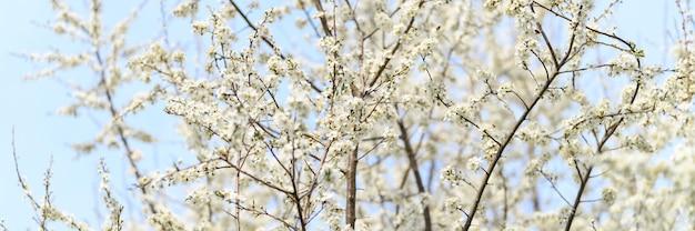 Сливы или чернослив распускаются белыми цветами ранней весной на природе. выборочный фокус. знамя