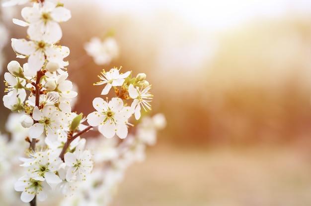자두 또는 자두는 자연 속에서 초봄에 흰 꽃을 피 웁니다. 선택적 초점. 플레어