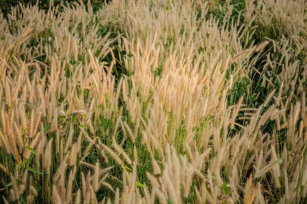 イネ科草花フィールドとイネ科背景