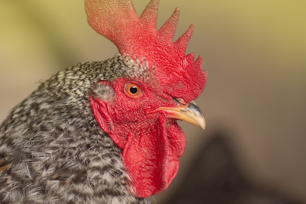 Pockmarked rooster bird close up