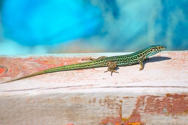 フォルメンテラ島トカゲpodarcis pityusensis formenterae
