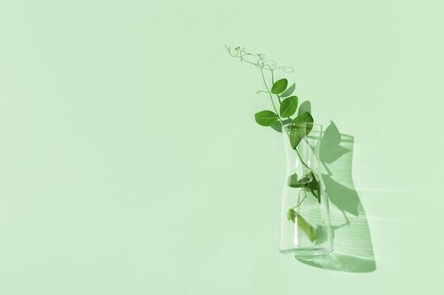 완두콩과 녹색 완두콩의 포드 녹색 유리 꽃병에 나뭇잎