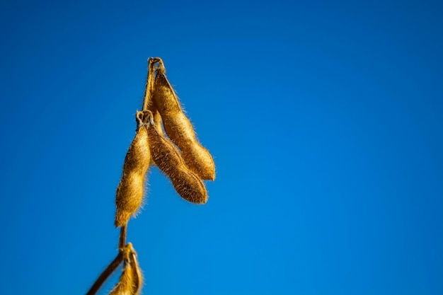 Pods of soybeans in a field
