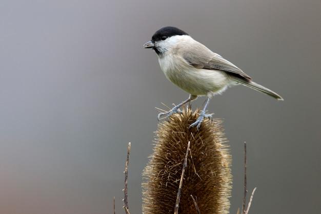 Болотная синица с закатным светом на ветке, птицы, животные, poecile palustris