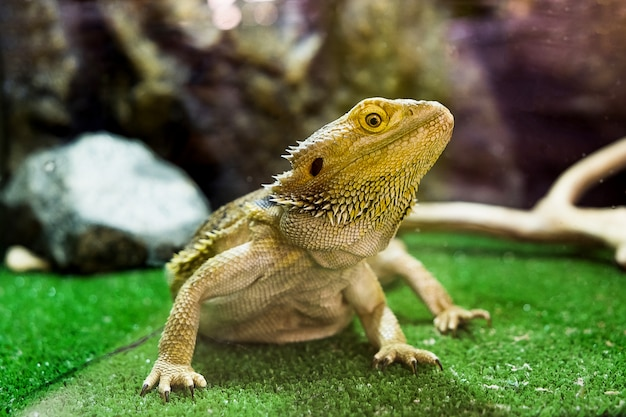 Pogona vitticeps. bearded agama in contact zoo.